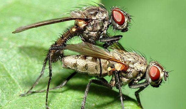 Fruit Flies: Asshole of the Insect World