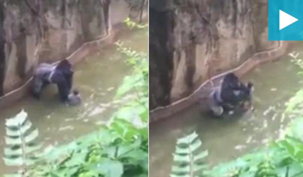 Gorilla Killed after child falls in enclosure | YummyMummyClub.ca