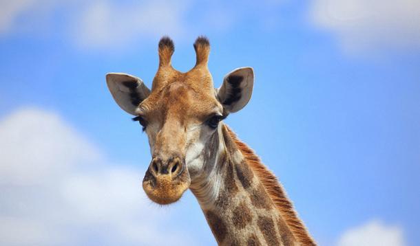 giraffe killed at zoo