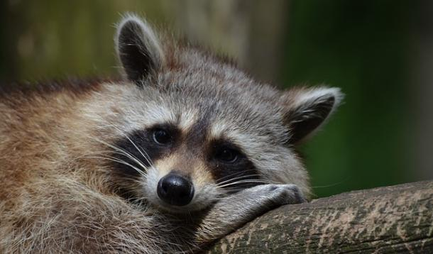 Raccoon as Therapy Pet? | YummyMummyClub.ca