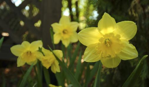 Spring Blooms, Daffodil planting tips