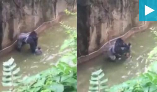 Gorilla Killed after child falls in enclosure   YummyMummyClub.ca