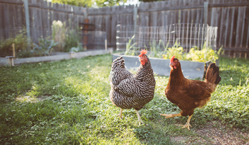 Backyard Chickens for the Summer