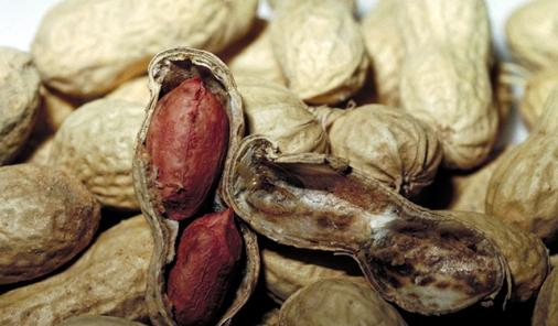 Peanut desensitization gives hope to allergic people.