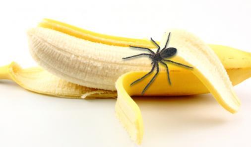 brazilian wandering spider in banana