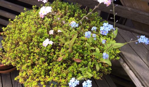 thyme and forget-me-nots