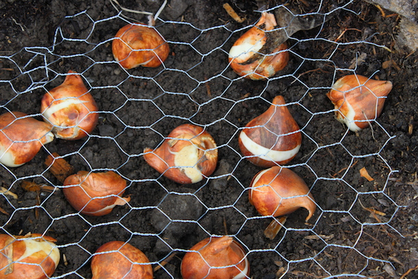 How To Prevent Squirrels From Tulip Bulbs 28 Images