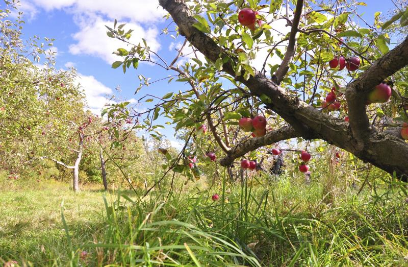 apples, apple picking, apple orchard, cooking with apples, apple recipes, apple jam, fall harvest, easy recipe, Around The Table, Katja Wulfers